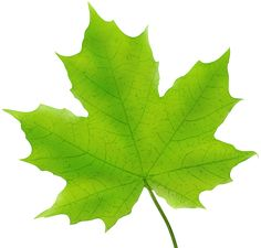Maple Leaf Green PNG Clip Art Image