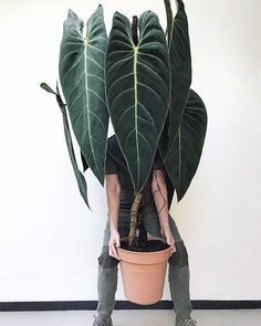 I ain't got it. My new Philodendron melanochrysum proving to be heftier that first anticipated. I matched my… Big House Plants, Big Indoor Plants, Big Plants, Rare Plants, Cool Plants, Tropical Plants, Indoor Garden, Easy Garden, Tropical Garden