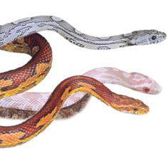 or a beautiful corn snake