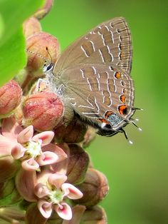~~Striped Hairstreak Butterfly by Carole Mebus~~