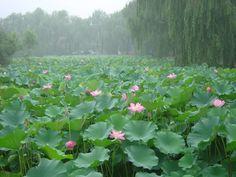 Lotus Pond in Summer