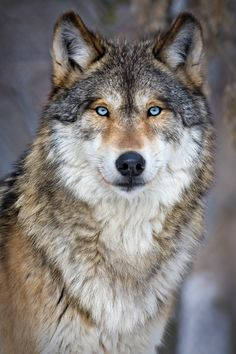 Wolf Photos, Wolf Pictures, Beautiful Wolves, Animals Beautiful, Coyote Animal, Wolf Howling At Moon, Wolf Eyes, Wolf Painting, Dibujo