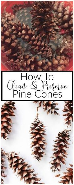 Collecting pine cone