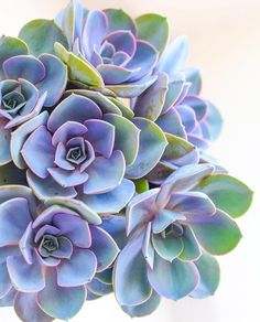 Secret to Colorful Succulents? Stress Secret to colorful succulents = stress!Secret to colorful succulents = stress! Succulent Gardening, Planting Succulents, Garden Plants, Indoor Plants, House Plants, Planting Flowers, Succulent Plants, Succulents Art, Succulent Containers