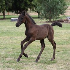 For Sale - Samaria Creek Morgan Horses