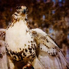 Daily Dose - June 30, 2016 - Red Tail - Red Tail Hawk  2016©Barbara O'Brien Photography