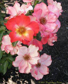 Full size picture of Floribunda Rose 'Playboy' (Rosa)