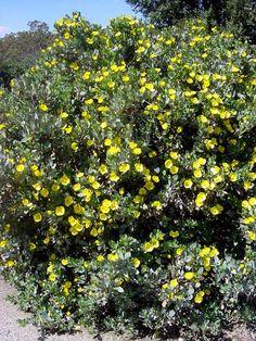 Back slope along fence past rock wall Dendromecon harfordii | Bush Island Poppy