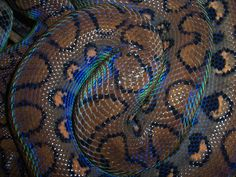This is a Brazilian Rainbow Boa. If you guessed Brazil – you're absolutely correct! The Brazilian Rainbow Boa is found in Central and South America – including Brazil. Geckos, Brazilian Rainbow Boa, Snake Scales, Beautiful Snakes, All Gods Creatures, Reptiles And Amphibians, Exotic Pets, Exotic Animals, Beautiful Creatures