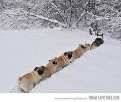 pug train