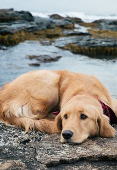 golden retriever at rest