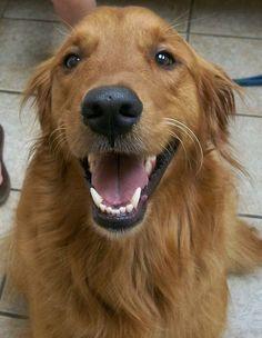 Smiling Golden Retriever by Olathe Animal Hospital in Olathe, KS,