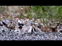 Northern wheatear. Каменка обыкновенная. - YouTube