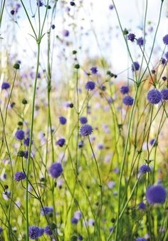 Succisa pratensis. The rounded pompom flowers of the devil's bit scabious are a magnet for insects. 15-60cm.