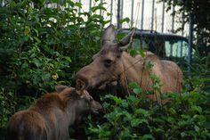 Moose and Mama in Alaska