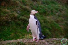 Yellow-Eyed Penguin Penguin Place in Dunedin, New Zealand