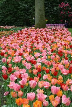 At the Keukenhof (Netherlands). I saw flowers like this in Skaggitt Valley outside Seattle. Unbelievably beautiful. That was a trip I will never forget.