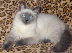 Продаются невские маскарадные котята. Продажа котят.