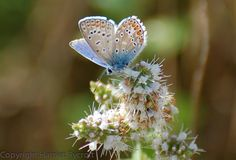 Common blue, France