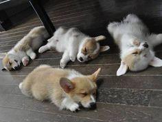 sweet corgi puppies!