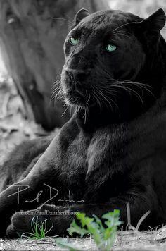Black panther                                                                                                                                                                                 Más