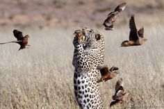 A Leopard Hunting In The Kgalagadi Grass