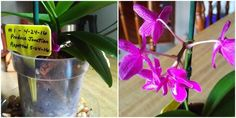 Strange Phalaenopsis Orchid Bloom Cycle