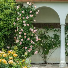 English Rose Climbing Collection - 4 Roses - Climbers for North Facing Walls - Specific Situations