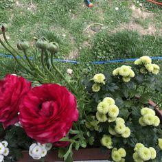 #redrose #kırmızıgül #bahçeçiçeği #flowersgarden #gardenflowers #kesikkavak #haymana #ankara