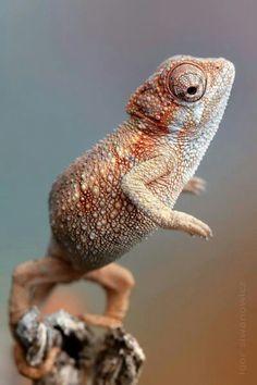 Chameleon by Igor Siwanowicz
