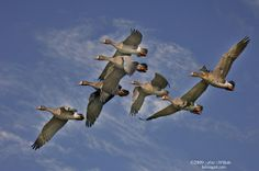 Greater White Fronted Goose flock