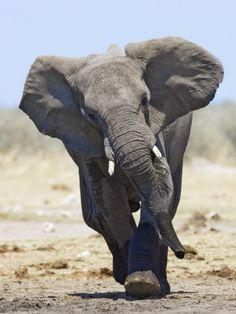 African Elephant, Charging, Etosha National Park, Namibia