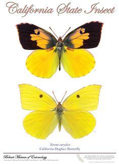 dog-faced++butterfly+ | dogface butterfly