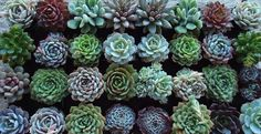 RESERVED for Helen Maas A Collection of 100 by SucculentDESIGNS