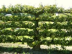 This is a mature espalier tree. Potager Garden, Garden Trellis, Garden Plants, Versailles, Espalier, Patio Trees, True Vine, The Good Shepherd, Le Site