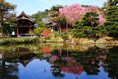 法金剛院 桜 高画質 写真