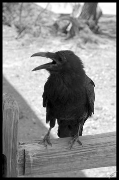 Crow...pure magic. I love crows...I better,my yard is full of them.