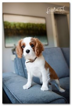 Cavalier King Charles is the kind of dog I had when I was little. :)
