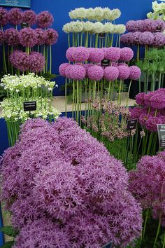 Selection of cultivated Alliums at the BBC Gardeners' World show, National Exhibition Centre, near Birmingham, England.