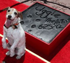 Star of the show: Uggie looked very pleased with his work after putting his paws in cement in Hollywood today