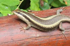Image result for trachylepis