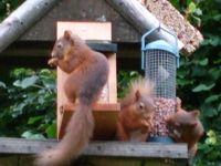 Red squirrels on our bird table at  Craik na dav B & B Loch ness www.craik-na-dav.com