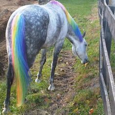 Horses with Long Manes and Tails   horse safe dye for manes tails and body click to see larger image and ...