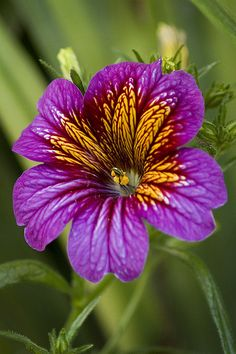 Salpiglossis | Flickr - Photo Sharing!