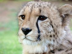 charlie the cheetah Cheetah, Spot, Spotted, Spots, Tears, Tear Marks, Wild