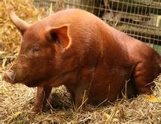 tamworth pig - Bing Images