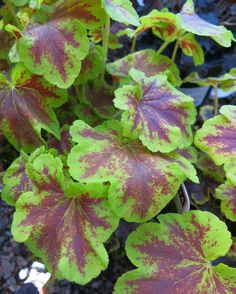 Excited to plant our Solar Eclipse Foamy Bells in my garden! Look at that gorgeous foliage  (Zone 4-9). Multi-colored leaves of a rich, reddish-brown framed with a pleasant lime green, in combination with broadly scalloped margins, sure to compliment lush containers and beds. An excellent low-maintenance perennial.