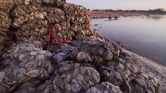 Oyster reef restoration in Mobile Bay, Alabama. Photo © The Nature Conservancy (Erika Nortemann)