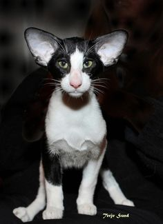 **CAT SNIP: Oriental Bi-Color: Any cat of Oriental type, long or short hair & in any pattern including color point, which has white areas on its coat caused by the white spotting gene. Sphynx Cat, Siamese Cats, Puppies And Kitties, Cats And Kittens, Dogs, Oriental Shorthair Kittens, Dobby Cat, Gatos Cool, Cornish Rex
