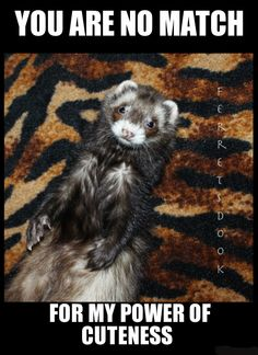 pin ferret meme on - photo #43